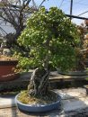 国分寺盆栽センターの春まつりへ!
