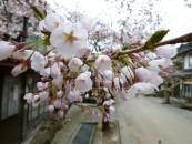 がいせん桜まつり