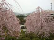 桜色に染まる山