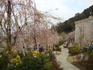 花見山桜4