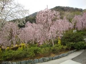 花見山桜1
